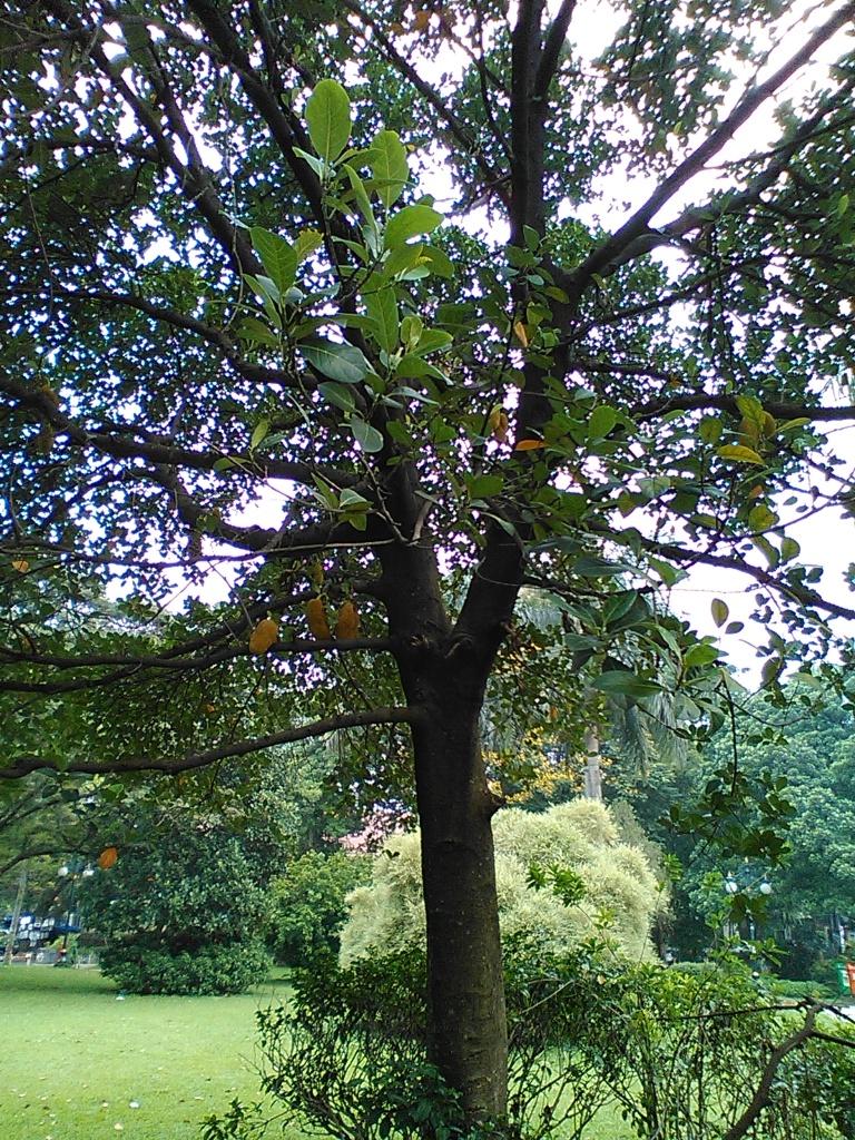 Pohon cempedak di sudut Taman Kencana, unduk yukkk! :D