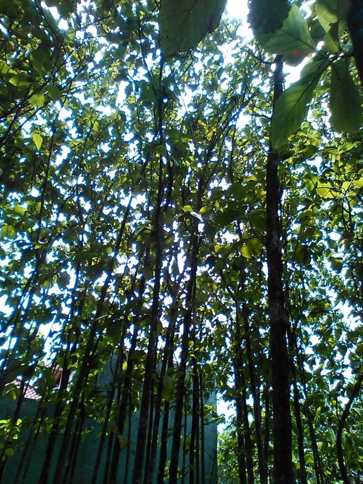 Deretan pohon jati muda di sebuah pekarangan saat seorang sahabat menikah
