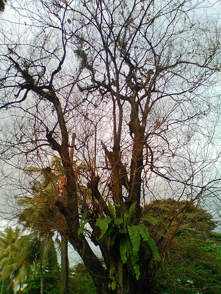sebuah pohon yang meranggas, masih di Taman Kencana