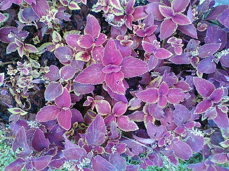ungu nan cantik